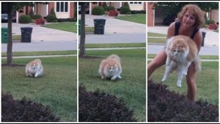 Funny Fat Cat Running From Owner And Alans Laugh
