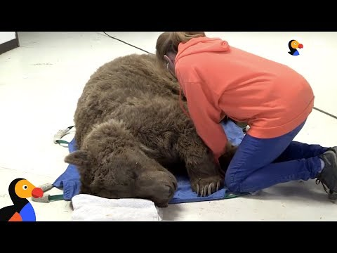 LIVE: Grizzly Bear Gets Medical Exam at Wild Animal Sanctuary | The Dodo LIVE