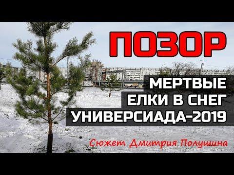 ПОЗОР! Перед Универсиадой в Красноярске высаживают мертвые ели в снег