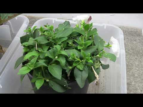 Propagating Petunia Cuttings in August and Overwintering Them (Part 3) Pruning Them Back