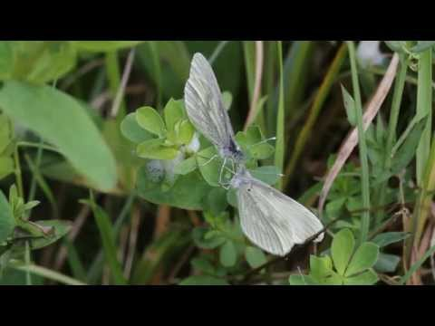Cryptic Wood White courtship, Craigavon Lakes, Northern Ireland, 22nd May 2014