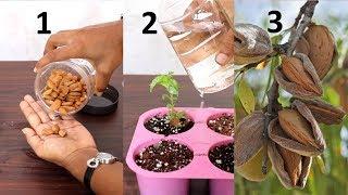 Grow Almond tree at home | बादाम घर पे भी ऊगा सकते हैं आसानी से