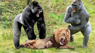 Unbelievable!!! Gorilla Adopts Lion Cub And The Unexpected | Lioness Save Baby From Baboon, Gorilla