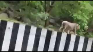 Lion On Road Gir Gujarat India