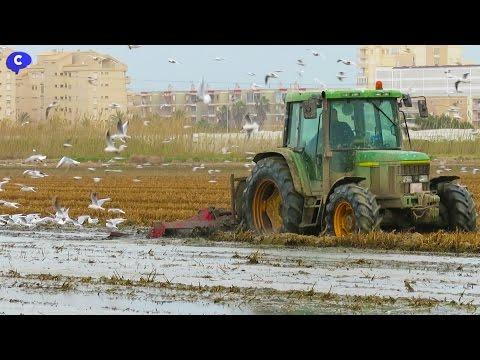 Miles de gaviotas atraidas por el fangueo de la Albufera de Valencia