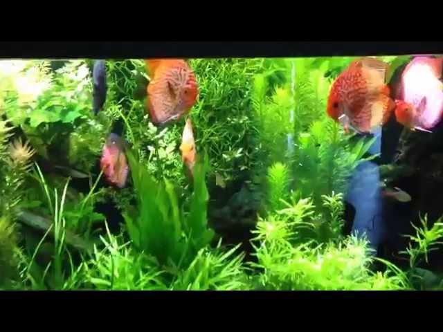Évolution de mon aquarium de discus de 2000 Litres