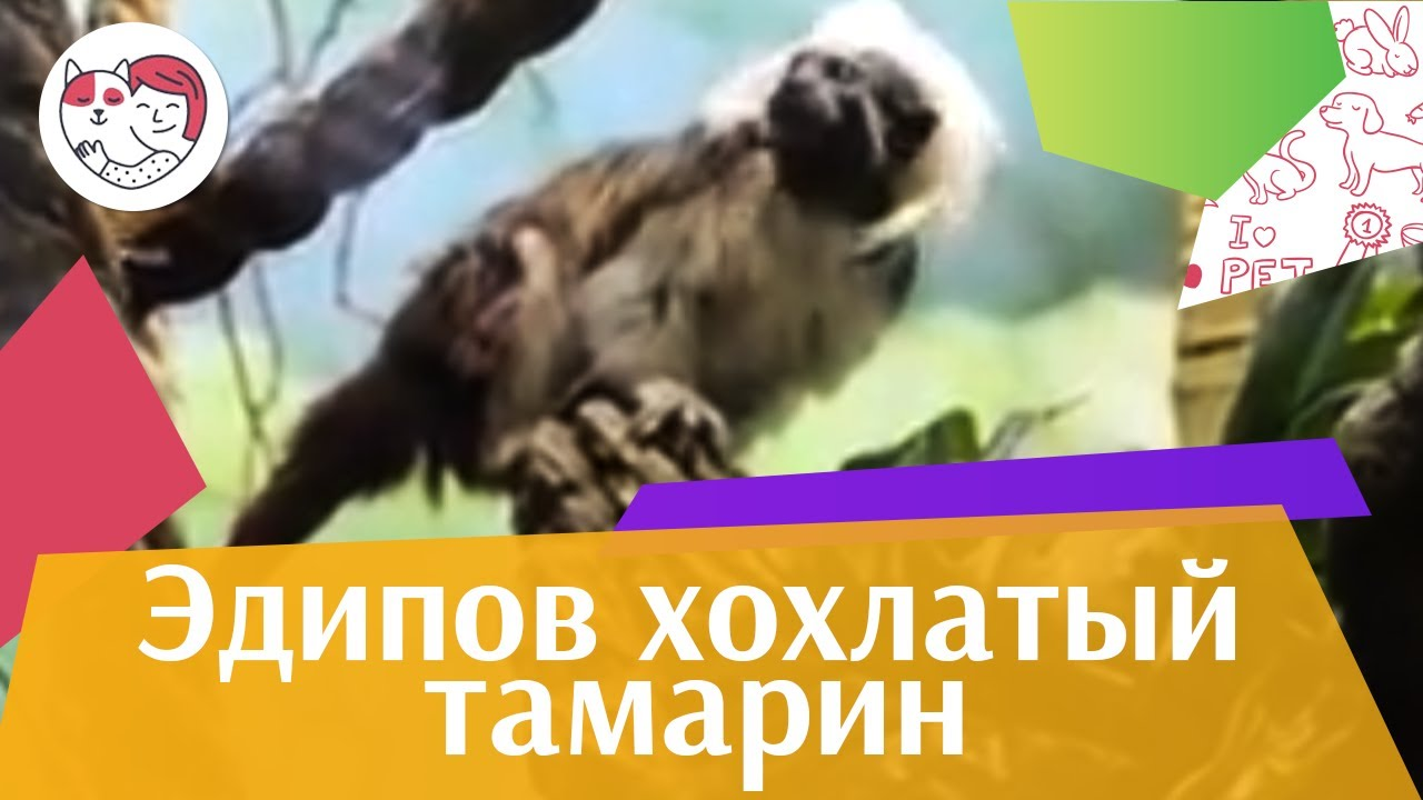 Эдипов хохлатый тамарин Образ жизни на ilikepet