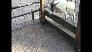 animale se blocheaza