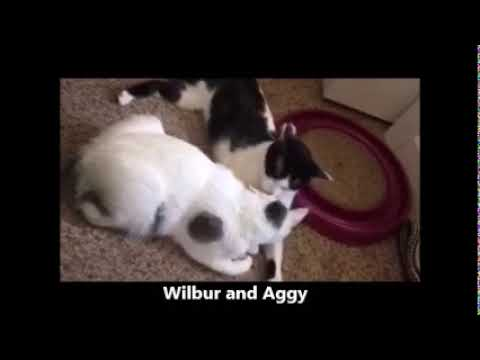 Wilbur ADOPTED:), an adopted Domestic Short Hair in Waverly, IA