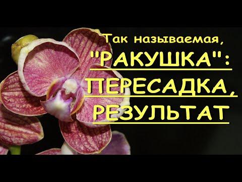 """ФАЛЕНОПСИС,цветущий """"РАКУШКОЙ"""":пересадка,РЕЗУЛЬТАТ.Орхидеи.Пелорик."""