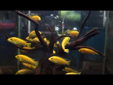 イエローシクリッド☆観賞魚図鑑#028☆学名:Labidochromis caeruleus