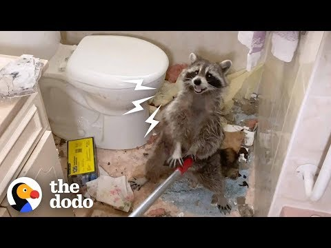 Mama Raccoon Crashes Through Bathroom Ceiling | The Dodo