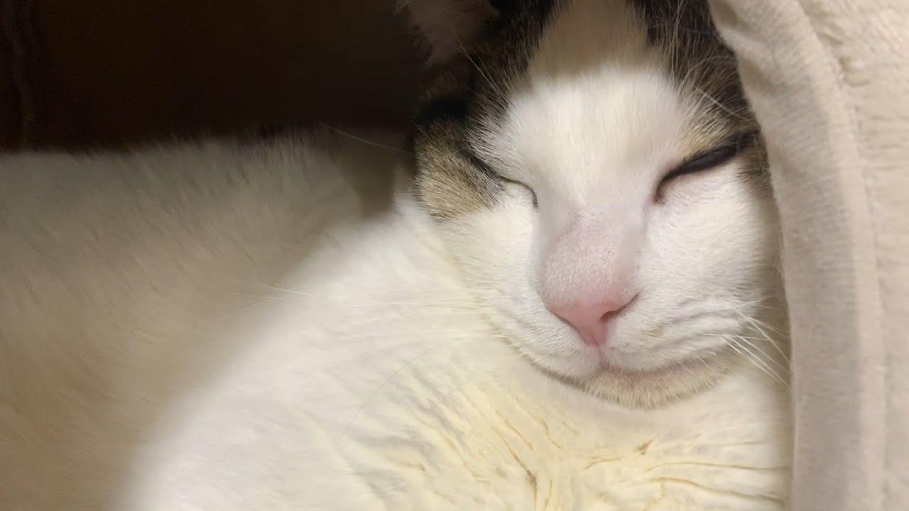 熟睡する豆大福 【今日のひのき猫】 #猫 #cat #熟睡 #豆大福 #今日 #ひのき