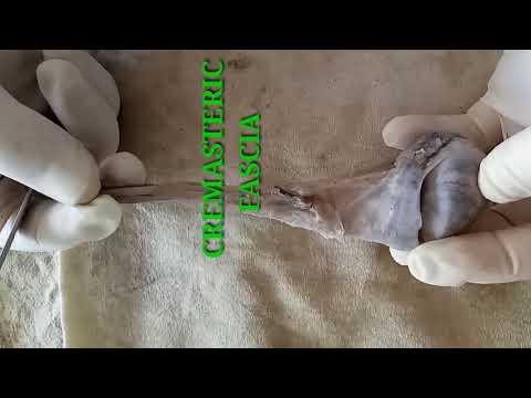Prostate massage and kaltsenaty