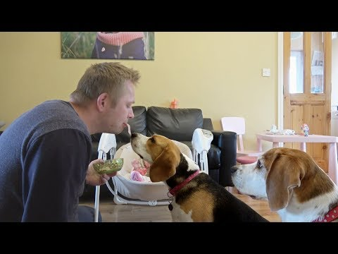 How Gently Beagle Can Eat | Feeding My Cute Dogs By Mouth