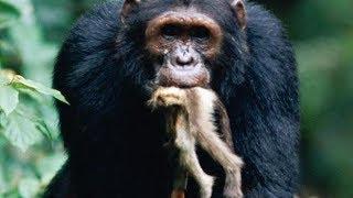 Şempanzelerin Maymun Avı