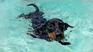 Dachshund In The Pool.