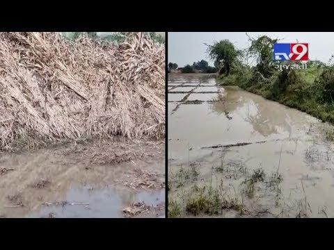Patan farmers reeling under stress after rain destroyed crops | Tv9GujaratiNews