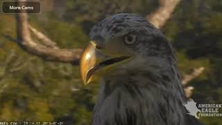 AEF NEFL Eagle Cam 1-1-19: A Visitor Has a Visitor