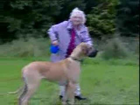 Granny Walks Great Dane Dog
