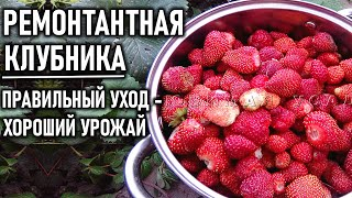 Многоразовая клубника: правильный уход и хороший урожай видео