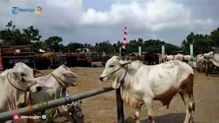 Ratusan Sapi Ikuti Gebyar SIWAB Di Pasar Hewan Imogiri Bantul