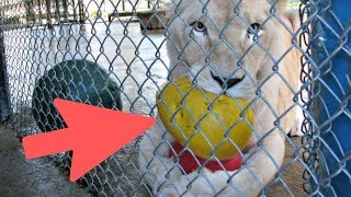 Sad Lioness Has An Incredible Reaction When She Sees Her New Neighbor