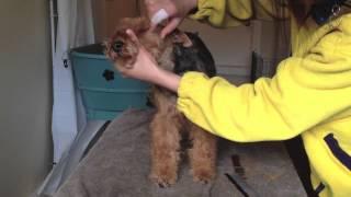 Handstripping Terriers