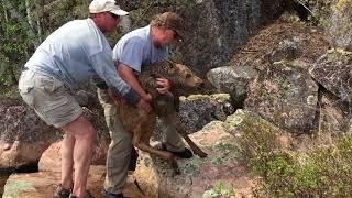 Baby Moose Rescue