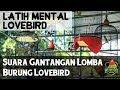 Latih Mental Lovebird dengan Suara Gantangan Lomba Lovebird