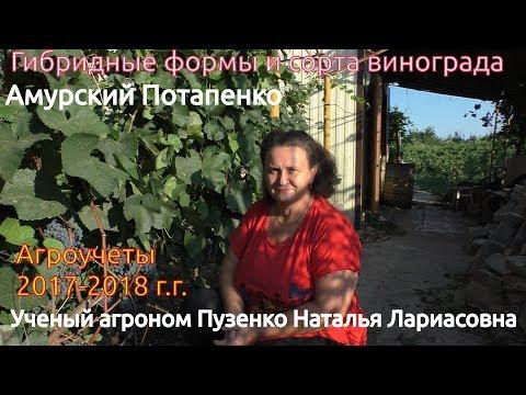 Амурский Потапенко - зимостойкий виноград (Пузенко Наталья Лариасовна)