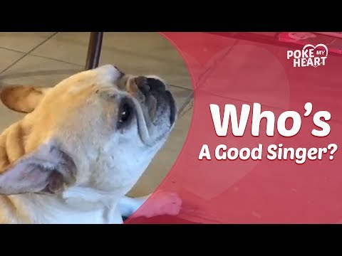 French Bulldog Makes Funny Crying Noises