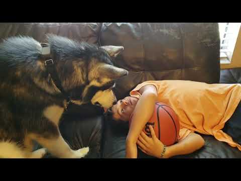 Malamute Reacts To Hiccups……..lol