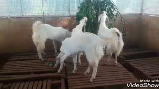 Goat Farm Kerala