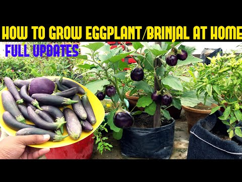 , title : 'How To Grow Eggplant/Brinjal in Containers (SEED TO HARVEST)