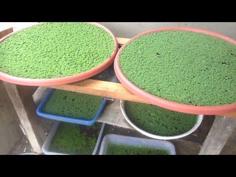 Video Budidaya Azolla di Nampan dan Nutrisinya