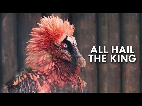 Vultures: Kings of the Dead