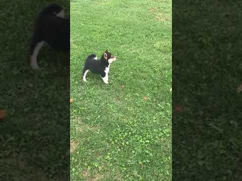 Dallas chasing his tail