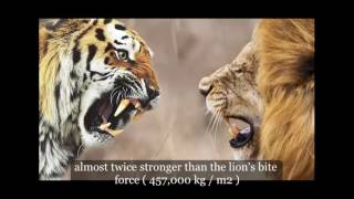 New Discovery:Tiger vs lion fight, Who would win?