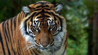 Ám ảnh về loài Hổ - HD Thuyết minh tiếng việt