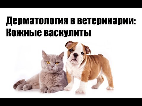 Дерматология в ветеринарии: Кожные васкулиты