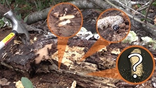 Collecting Insects In Rotting Logs