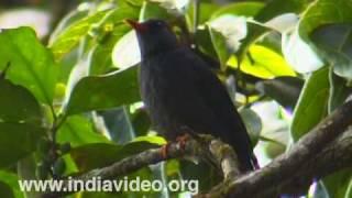 Black Bulbul or Hypsipetes Leucocephalus