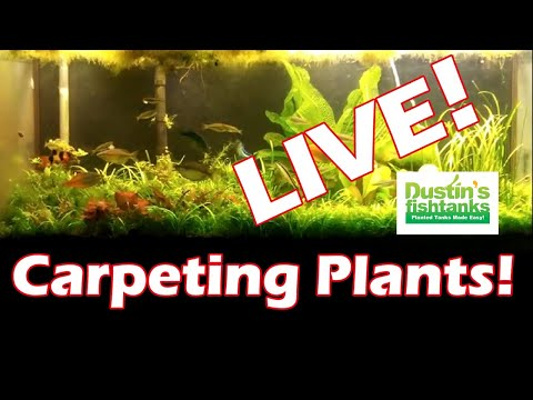 Carpeting Plants LIVE…BEST and the WORST Carpeting plants for your planted aquarium