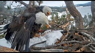 Big Bear Eagles ~ FOOD FIGHT! ? Shadow DEFENDS FISH! Does NOT Want To Share! J Eats Tail 12.1.19