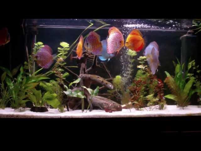 Discus Aquarium water fish tank Fish Discus aquarium Tank 240l