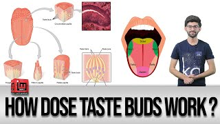 How dose Taste Buds work ? | Noor Mujdded | IM Tv