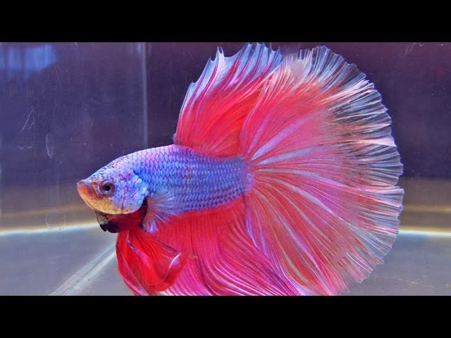 The International Betta Competition - magnificent fighting fish on show