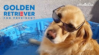 This Golden Retriever Is Running For President