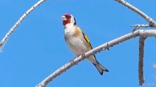 Wild goldfinch in nature, Amazing singing !!